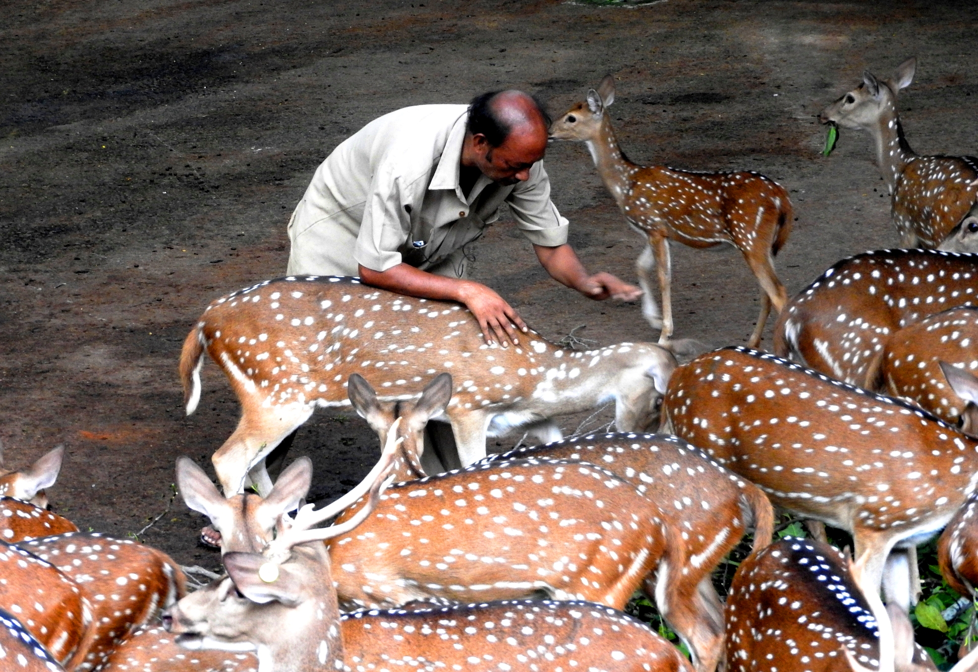 I was always fascinated to have this frame where a care taker of deer family in a zoo was talking playing with them. .I was really  astonished by the by the frame I got.What I want to capture was that the bond between the man and animals even though they are caged.