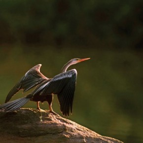 It is very rare to capture the details on a darter bird, but they are beautiful and distinct in this image. This was shot in Ranganathittu Bird Sanctuary, Mysore. Photograph/C R Sathyanarayana