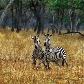 Two zebras cross paths in a sanctuary in Zambia. It is easy to spot zebras, but what makes this picture unique is that the moment itself was special! Photograph/C R Sathyanarayana