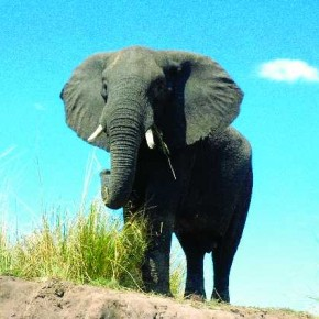 This picture of an elephant is shot from a low vantage point, which emphasises its size, and frames it against the clear, beautiful sky. Photograph/Unknown