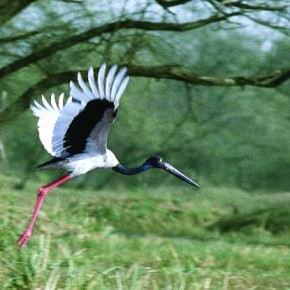 This is a Black-necked Stork. It is four feet tall, and has red legs and a black bill. This image was taken at Bharatpur soon after the bird took off. Photograph/Adhik Shirodkar