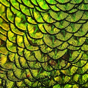 Though it looks like an ornate jewellery piece, this is actually a closeup of peacock feathers. Photograph/James Stapley