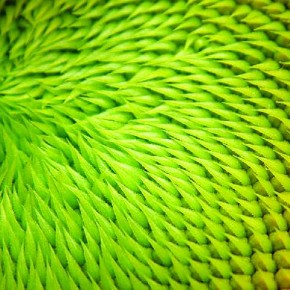 These alien-looking green spikes are actually the seeds of a sunflower. Photograph/Diane Miller