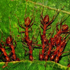 These are fire ants or weaver ants, commonly found in the city. They build nests on trees by pulling leaves together. If provoked, they can even attack a human being. Photograph/Yuwaraj Gurjar