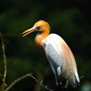 Easily found all over the city, Egrets can usually be seen nesting in colonies. This particular image was shot in Thane, Mumbai. Photograph/Kedar Bhat