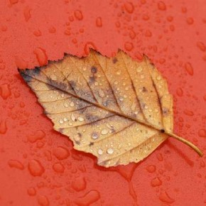 The wet surface of the background effectively conveys rain; while the red contrasts nicely with the warm yellows of the dry leaf. Photograph/Arvind Balaraman