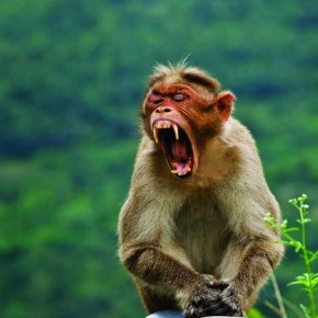 Look out for moments when animals make a funny face or shriek at something, like this shrieking monkey. Photograph/Sridhar Parthasarthy