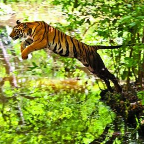 This is a rare wildlife moment that Trivedi has captured, of a tiger that is just about to jump across the water. Photograph/Kunj Trivedi
