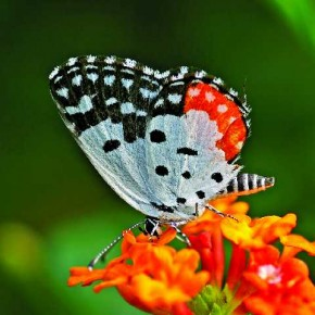 This is an image of a Red Pierrot butterfly commonly found in gardens. It generally sits on short plants and food sources and has slow fluttering speed, which makes it slightly easy to photograph. Photograph/Girish Vaze
