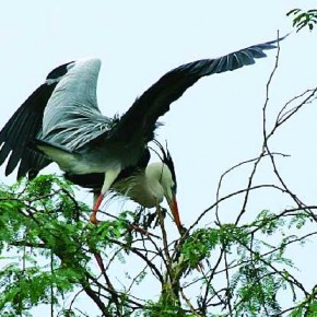 The Grey Heron, a resident of North India, looks fascinating in flight, since its black wings compliment its grey upper wings. Photograph/Adhik Shirodkar