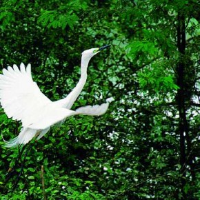 Widely found in northwest and northeast India, the Little Egret is a small bird with a black bill and legs and yellow feet. Photograph/Adhik Shirodkar