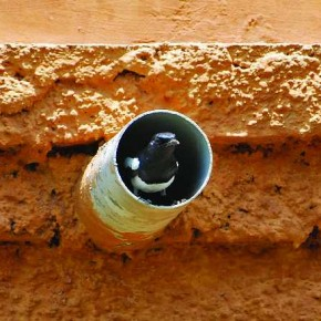 Observe and spot birds that commonly visit your house, just like this Magpie Robin, which was nesting in a terrace drain pipe. Photograph/Shyam Ghate