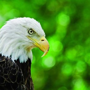 Use shallow depth-of-field to keep the background clutter free, so that the viewer can concentrate on the main subject, like this eagle. Photograph/Rob Sylvan