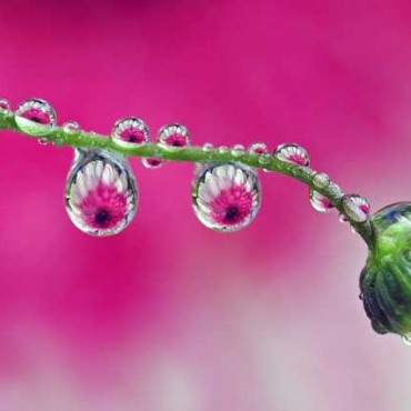 The physics of shooting droplet photos is simple. When water forms a drop, it no longer reflects back what is in front of it. Instead, it refracts anything behind it. Exposure: 1/125sec at f/5.6 (ISO 250). Photograph/Steve Wall.