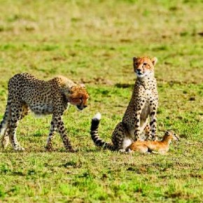 In this image, Trivedi has shot a leopard that has gone with its cubs to catch a baby fawn. This shows how leopard train their cubs to learn the art of hunting. Photograph/Kunj Trivedi