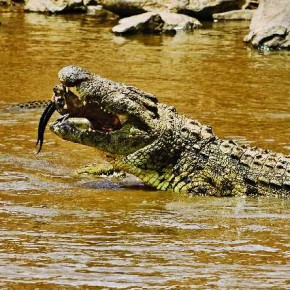 Trivedi has captured the attack of a crocodile that took place when the animals were migrating from Serengeti National Park, Tanzania to Kenya's Masai Mara. Photograph/Kunj Trivedi