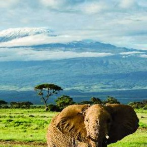 Trivedi photographed this elephant in front of the spectacular view of Mount Kilimanjaro, the highest free standing mountain in the world, at Amboseli National Park, Kenya. Photograph/Kunj Trivedi