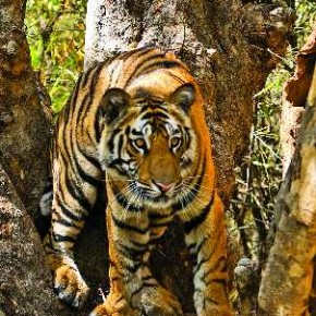 Tigers do not climb trees, but cubs do it from time to time. This image was taken in Bandhavgarh Tiger Reserve in Madhya Pradesh. Photograph/Kunj Trivedi
