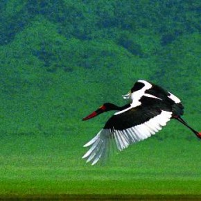 A resident of Africa, this is a beautiful bird with large black and white stork and red and yellow bands. Photograph/Adhik Shirodkar