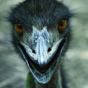Taken in a zoo, this picture of the Emu bird is distinctly expressive. Focus on such humorous and cute mannerisms for your photographs. Photograph/Harish Tyagi