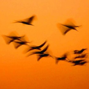 The blur in this image is a unique capture of birds flying homewards during sunset. Photograph/Gaurav Bhatnagar