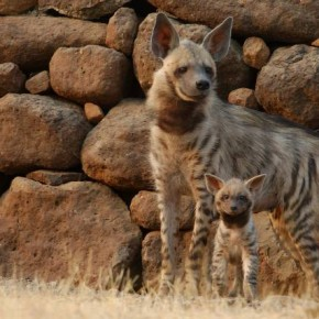 STRIPED HYENA, Near Ahmednagar, Maharashtra: Striped Hyenas are scavengers by nature and can seldom be found roaming around in groups. Striped Hyenas of India are nomads by nature. They have been declared as a nearthreatened species. Photograph/Rajesh Pardeshi.