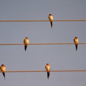 SWALLOWS, Near Ahmednagar, Maharashtra: On a winter morning, the swallow birds soak the sun sitting on telegraph wires. Photograph/Rajesh Pardeshi