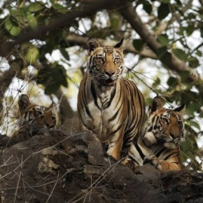 TIGER, Bandhavgarh, Madhya Pradesh: Once a hunting reserve of the royal family of Rewa, Bandhavgarh was declared the national park in 1968. Photograph/Rajesh Pardeshi