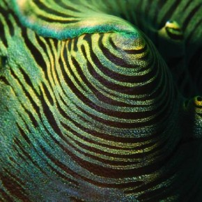 Giant Clam This macro image of a fold in a Giant Clam's mantle highlights the strange colours and textures of the creature. Photograph/Umeed Mistry