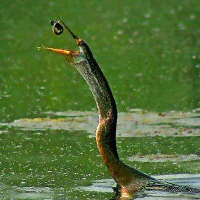 "Title: Darter with Feed ""This image was taken at the Bharatpur Bird Sanctuary, Rajasthan in 2006. In the last two years, Bharatpur has received very scanty rain. The decreasing water levels, as a result, have reduced darter sightings tremendously; which is why there are fewer photographic opportunities too."" Camera: Canon EOS 20D Lens: Canon EF 75–300mm Ultra Sonic Aperture: f/8 Shutterspeed: 1/800sec ISO: 200 Photograph/ Dipesh C Shah, Mumbai"