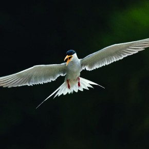 Harish's love for birds is apparent in his portfolio, which includes this perfectly timed backlit photograph of a River Tern. Photograph/ Harish N N