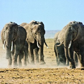 He recounts witnessing this herd of African elephants as they kicked up dust in a race towards a nearby watering hole. Photograph/ Harish N N
