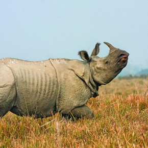 When he photographed this Indian One-horned Rhinoceros, it was agitated by the presence of humans, and charged towards their vehicle. Photograph/ Harish N N