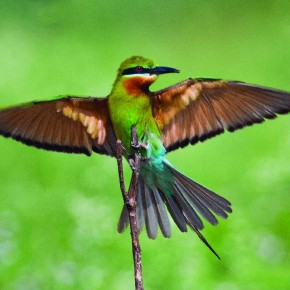 An in-depth knowledge of bird behaviour helps him while photographing agile birds like the Blue-tailed Bee eater. Photograph/ Harish N N