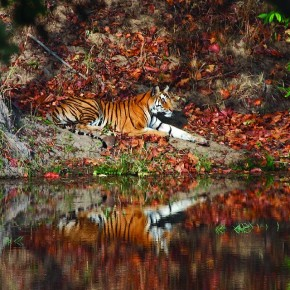The first tiger sighting is always special for any photographer, just like this image shot at Bandhavgarh National Park, Madhya Pradesh. Photograph/ Harish N N