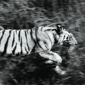 Tiger in motion, Kanha, May 1968. Photograph/Madhaviah Krishnan