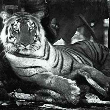 Tigress under the banyan, Kanha, May 1968. Photograph/ Madhaviah Krishnan