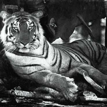 Tigress under the banyan, Kanha, May 1968. Photograph/ Madhaviah Krishnan