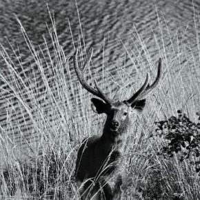Sambhar stag in velvet, Ranthambore, October 1989. Photograph/ Madhaviah Krishnan
