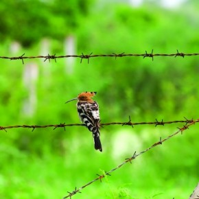 The Hoopoe has a fan-shaped crest and a long, gently curved bill. It is more exciting to shoot this bird, when it is digging the ground for insects and food. Photograph/Alok Brahmbhatt