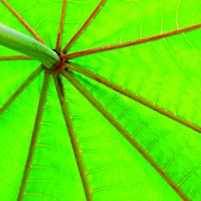 Plants are full of shapes and textures. The underside of this Arind leaf, backlit by daylight, shows off its beautiful lines and form. Composition is important in pictures that emphasise on patterns. Photograph/Avatar Singh