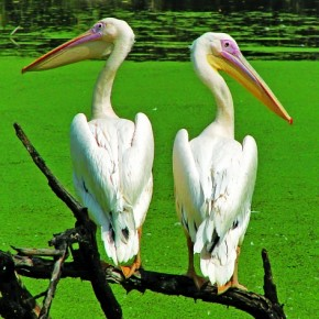 This was shot at the Nehru Zoo, Hyderabad. The timing of this picture was extremely important. The two pelicans look like a disgruntled couple due to the manner in which they are perched on the branch. Photograph/Bharani Surineni