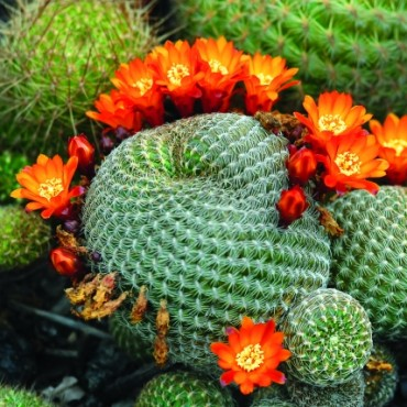 These flowering Barrel Cactii show a strange, poetic combination of thorny toughness and vivacious delicacy. There is a story of a full life cycle in this photograph. Photograph/Dr C R Suvarna