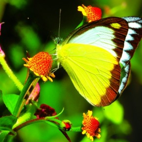 The Chocolate Albatross is a forest butterfly commonly found in Asia and South East Asia. It prefers rainy highlands, up to 3000ft, and it flies close to the ground. The butterfly occasionally visits flowers. Photograph/Isaac Kehimkar