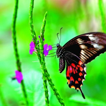 The Common Mormon, a jet-black butterfly, is widely distributed across Asia. This butterfly uses 'mimicry', to protect itself from predators. It visits gardens abundant in food plants like oranges and limes. Photograph/Isaac Kehimkar