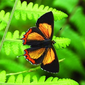 The moist subtropical regions are home to the Golden Sapphire. It is a small butterfly found in India. Photograph/Isaac Kehimkar