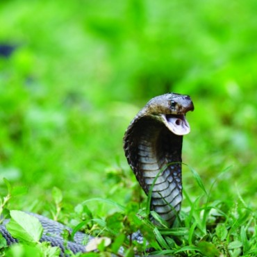 I shot this Common Cobra (naja naja) while a number of experts were handling it during a snake show. Do not attempt this if you do not have proper knowledge of snakes. Photograph/Alok Brahmbhatt