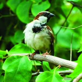 This is a male House Sparrow. Its body is white and has a grey crown, chestnut back and black around the eyes. It is about 15cm in size and can be found everywhere in India. Photograph/Jaydeep Jadeja