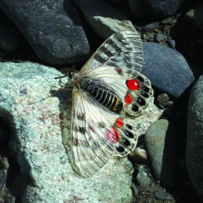 The Regal Apollo is commonly found in Jammu & Kashmir, Himachal Pradesh and Uttaranchal. This butterfly can vary in colour as well as form significantly, based on the high altitude that it is in. Photograph/Isaac Kehimkar