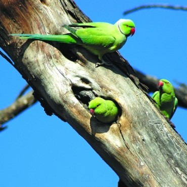 The Rose-ringed Parakeet is found in flocks near human existence. The male is rose pink in colour and has a black collar. When you approach a bird do not make quick movements, or the bird might fly away. Photograph/Jaydeep Jadeja